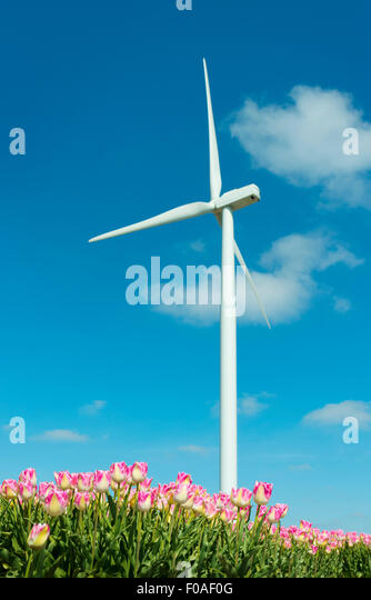 Field with pink tulip blooms and wind turbine, Zeewolde, Flevoland, Netherlands - Stock Image