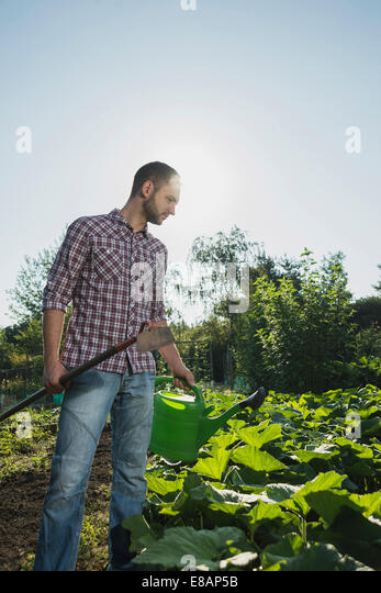 Gardener holding hoe and watering can tending to courgette patch - Stock Image