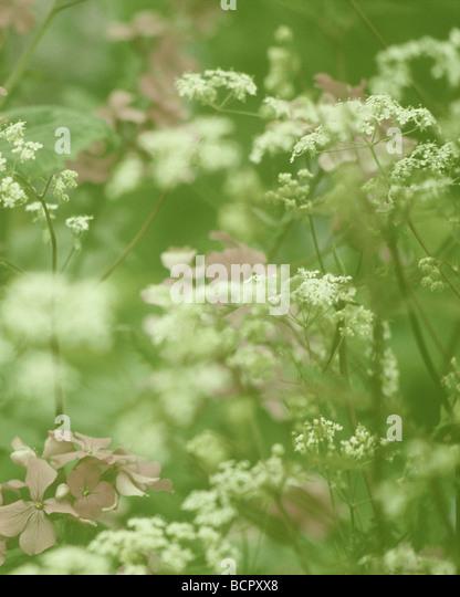 Lunaria annua Honesty & Cow parsley - Stock Image