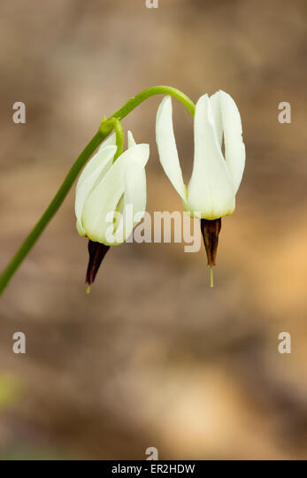 Delicate white flowers of the shooting star, Dodecatheon dentatum - Stock Image