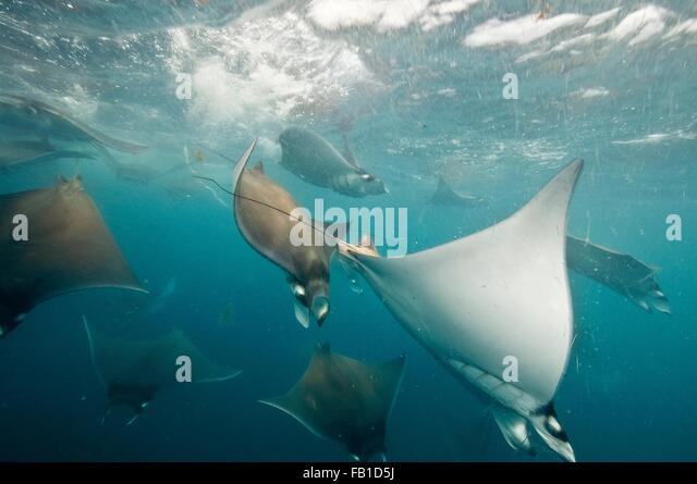 Underwater view of mobula rays gathering for migration around the Yucatan Peninsula, Contoy Island, Quintana Roo, - Stock Image