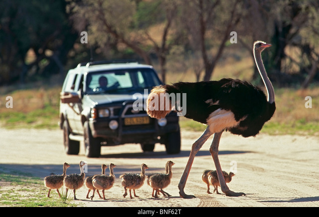 Close-Up view of Common Ostrich (Struthio camelus) and chicks crossing a road, Kgalagadi Transfrontier Park, South - Stock-Bilder