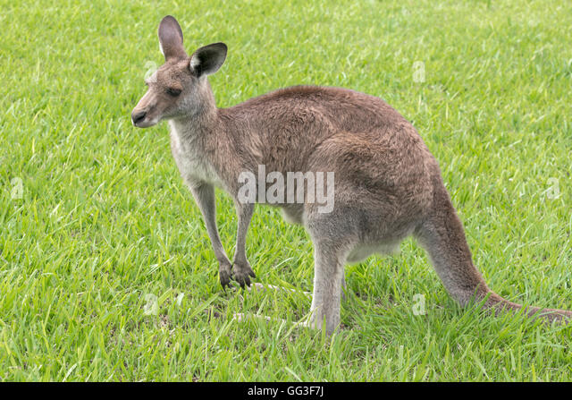 Eastern Grey kangaroo, Macropus giganteus, photographed in a semi-urban setting, southern Queensland, Australia. - Stock Image