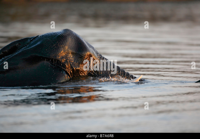 Close-up portrait of a wholly submerged elephant swimming across the Chobe river - Stock Image