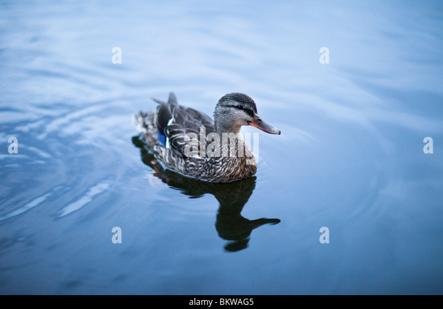 Lonely duck in the water - Stock Image
