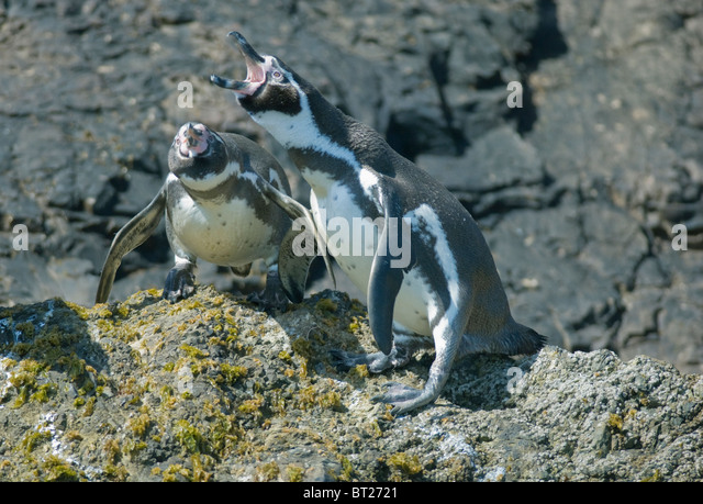 Humboldt Penguin (Spheniscus humboldti), Courting Pair, ENDANGERED, Chiloe Island, Chile - Stock Image