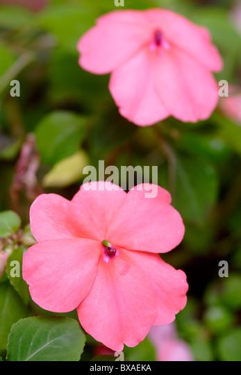 Pink Impatiens in flower close up England, UK - Stock-Bilder