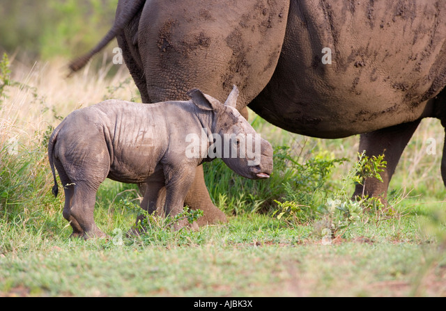 White Rhinoceros (Ceratotherium sim) Calf with its Mother - Stock Image