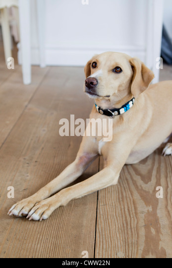 Dog laying on wooden floor - Stock Image