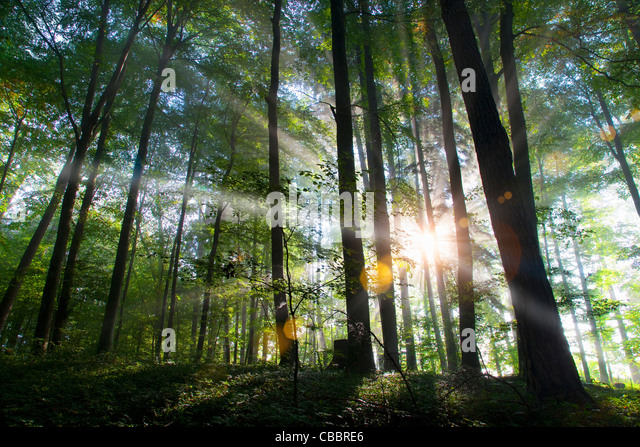 Sunbeams shining through forest - Stock-Bilder