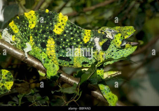 Male Meller's chameleon threat display - Stock Image