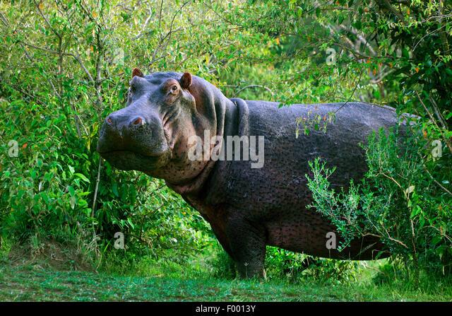 hippopotamus, hippo, Common hippopotamus (Hippopotamus amphibius), in thicket, Africa - Stock-Bilder