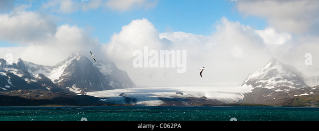 Wandering Albatross flying over the Bay of Isles with Salisbury Plain glacier in the background. South Georgia, - Stock Image