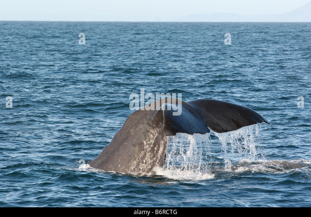 Sperm whales blubber used for