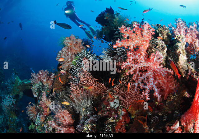 px0869-D. scuba diver (model released) soars overtop colorful, critter encrusted remains of the Liberty shipwreck - Stock Image