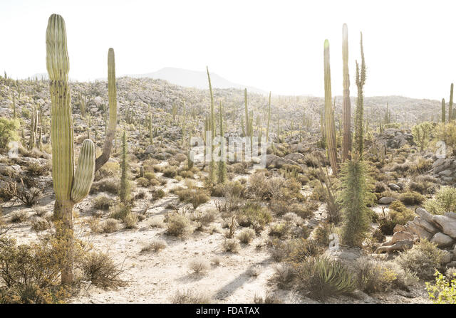 Desert cacti in Baja California, Mexico - Stock Image