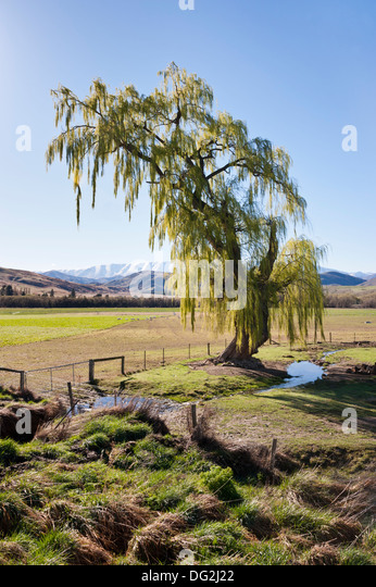 Willow tree in Spring beside Highway 8 near Tarras, near Wanaka, Central Otago,New Zealand, with a mountain backdrop. - Stock-Bilder