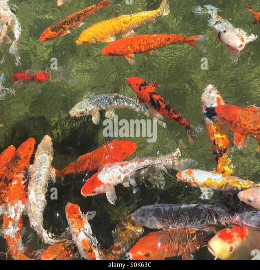 Koi fish swimming in water - Stock Image