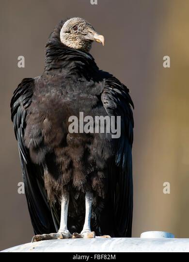 Black Vulture - Stock-Bilder