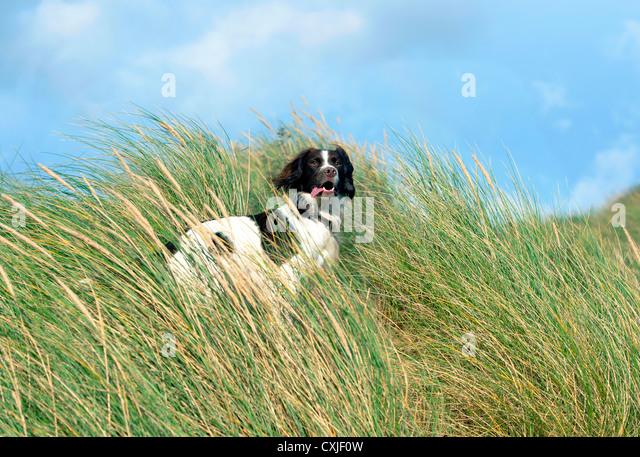 Dog Rescue East Sussex Springer Spaniel