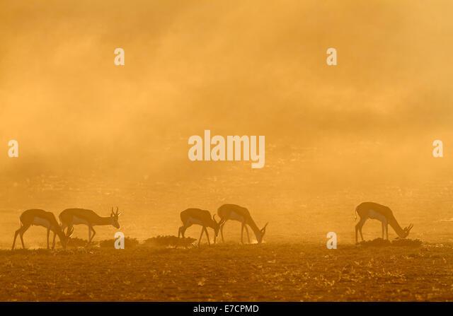 Springbok antelope (Antidorcas marsupialis) in dust at sunrise, Kalahari desert, South Africa - Stock-Bilder