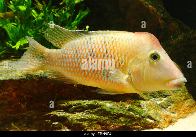 Redhump eartheater, Colombia Geophagus (Geophagus steindachneri, Geophagus hondae), swimming - Stock Image