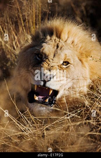 Charging Male Lion (Panthera leo) Namibia. - Stock Image