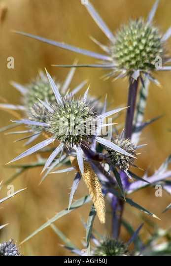 Wild flowers in the Sibilini National Park,Le Marche Italy - Stock Image