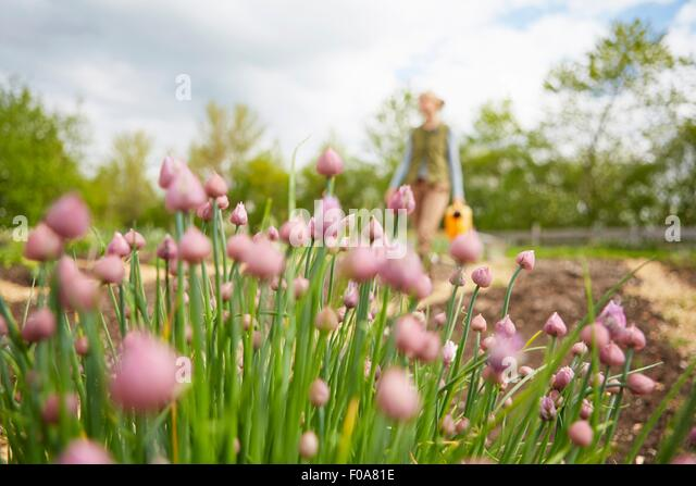 Mature woman, outdoors, gardening, carrying watering can, focus on flowers - Stock Image