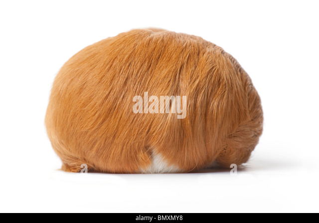 Backview of a guinea Pig on white background - Stock Image