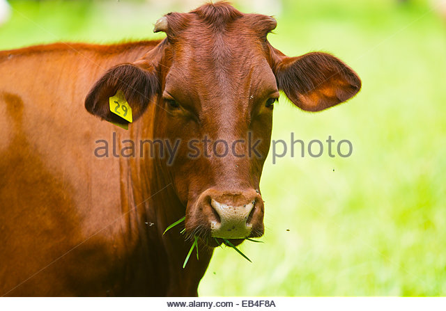 Portrait of a cow eating grass as pesky flies buzz around her head. - Stock Image
