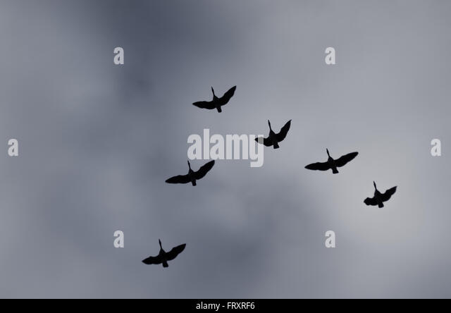 Geese in flight - Stock Image