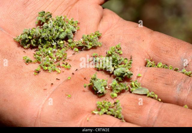 Lebanon.  Fresh grains of fresh thyme (zaatar) in hand of Abu Kassem.  Much used in Lebanese cuisine. - Stock Image