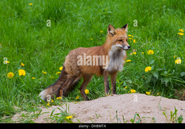 Red fox (Vulpes vulpes) at entrance of den in grassland in spring - Stock Image