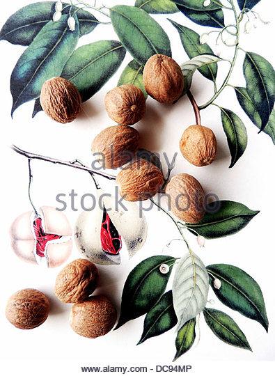 muscat myristica fragrans - Stock-Bilder
