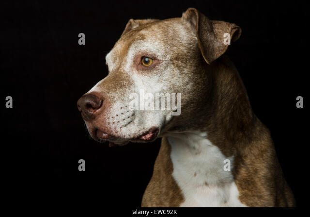 Classic studio headshot of a brown short haired graying senior Pitbull dog in profile on a black background - Stock Image