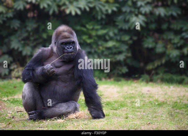 Gorilla with gloomy expression sitting on a grass - Stock Image