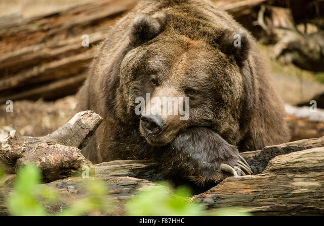 grizzly bear resting in - photo #6