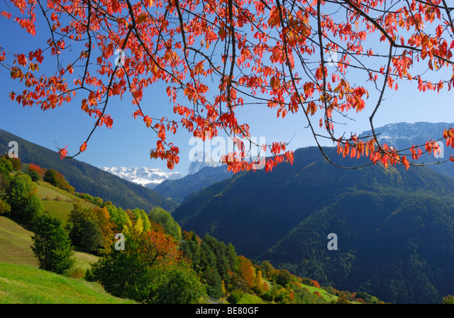 Sella range and Langkofel above trees in autumn colours in valley Groednertal, Dolomites, South Tyrol, Italy - Stock Image