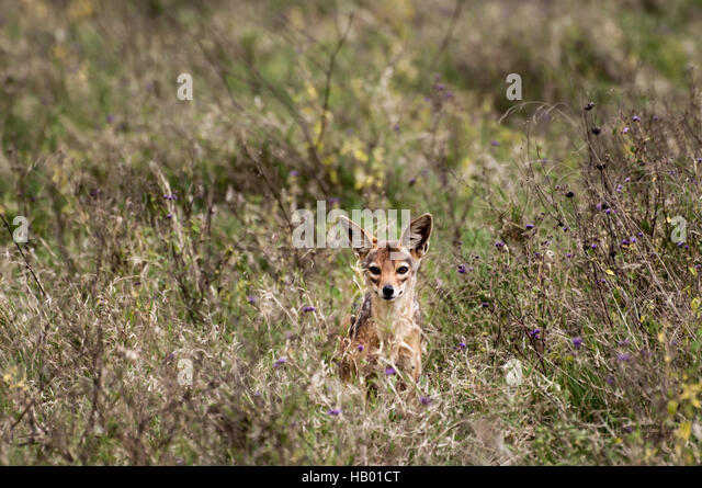 Curious but shy Jackal - Stock Image