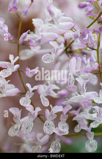 Small soft lilac orchid flowers - Stock Image