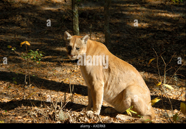 Florida panther stretching on haunches endangered species cougar felis concolor - Stock Image