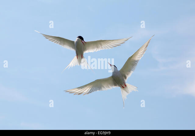 Arctic terns. Farne Islands, Northumberland, UK - Stock Image
