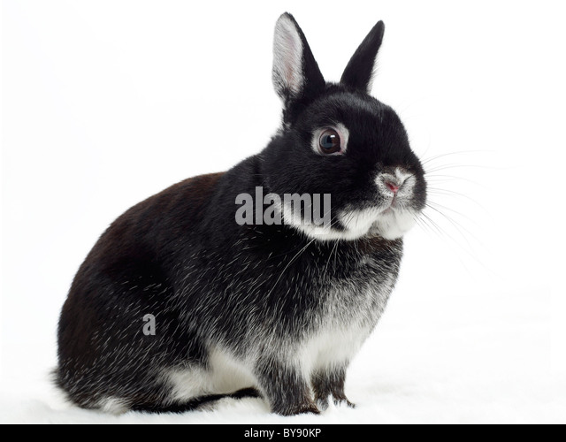 A black and white pet rabbit. - Stock Image