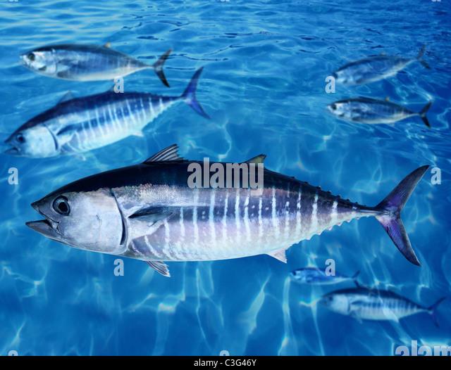 Bluefin tuna Thunnus thynnus fish school underwater swimming blue ocean - Stock Image