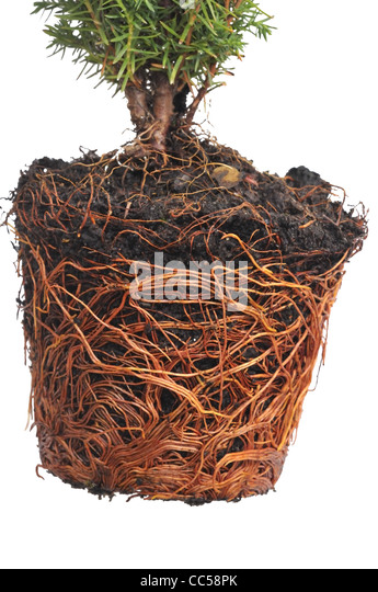conifer pot stock photos conifer pot stock images alamy. Black Bedroom Furniture Sets. Home Design Ideas