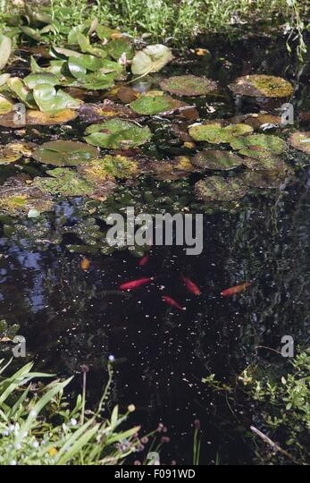 Ornamental fish stock photos ornamental fish stock for Ornamental pond