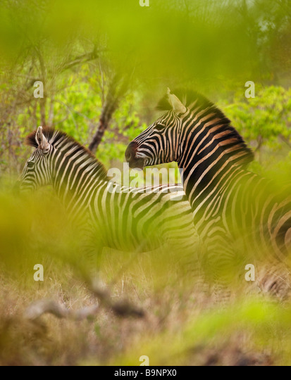 a couple of zebra in the bush, Kruger National Park, South Africa - Stock Image