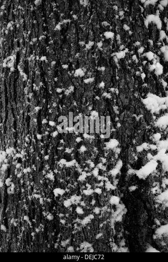 Powdery snow attcing itself delicately to the bark of this French tree - Stock-Bilder