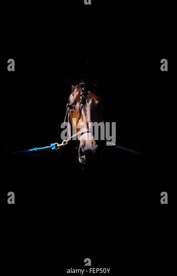 Close-Up Of Tied Up Brown Horse Against Black Background - Stock Image